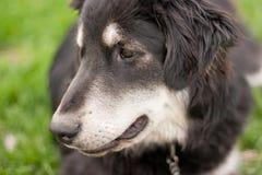 Mixed-Allevi il cane Immagine Stock Libera da Diritti