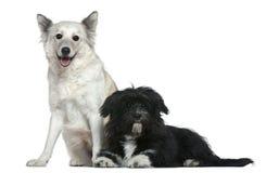 Mixed-allevi il cane e Shih-Tzu Immagini Stock