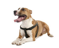 Mixed-Allevi il cane fra un terrier di toro e un pugile Immagine Stock