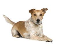 Mixed-Allevi il terrier di volpe del cane e la presa Russel Immagini Stock