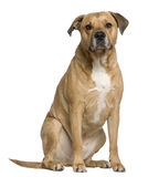 Mixed American Staffordshire Terrier Stock Image