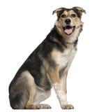 Mixed Australian shepherd dog, 8 months old Stock Image