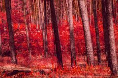Mixed autumn forest looks fantastic all is painted in red color. Exciting world of wild nature royalty free stock photos