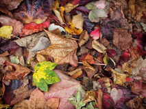 mixed autumn leaves background with different shades of fall col Stock Photography