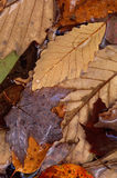 Mixed autumn leaves in water. Wet mixed autumn leaves with water droplets Royalty Free Stock Photos