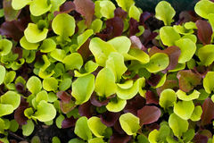 Mixed baby leaf salad. Close up of mixed baby leaf salad plant Royalty Free Stock Images