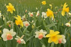 Mixed bed of spring daffodils Stock Photo