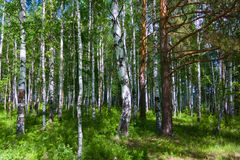 Mixed Birch and coniferous forest in summer Royalty Free Stock Photography