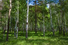 Mixed Birch and coniferous forest in summer Royalty Free Stock Image