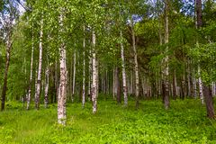 Mixed Birch and coniferous forest in summer Stock Image