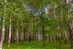 Mixed Birch and coniferous forest in summer Stock Images