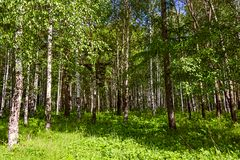 Mixed Birch and coniferous forest in summer Stock Photos