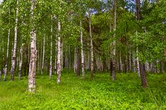 Mixed Birch and coniferous forest in summer Stock Photo