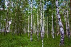 Mixed Birch and coniferous forest in summer Royalty Free Stock Photo