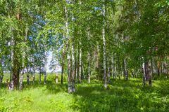 Mixed Birch and coniferous forest in summer Royalty Free Stock Photos
