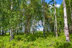 Mixed Birch and coniferous forest in summer Royalty Free Stock Images