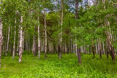 Mixed Birch and coniferous forest in summer Stock Photography