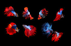 Mixed of blue and red siamese fighting fish betta full body unde Stock Photos