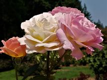 Mixed bouquet of garden roses royalty free stock image