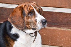 Mixed Brazilian Terrier stock image