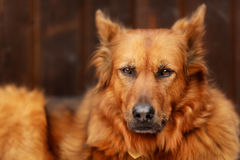 Mixed-bred dog Royalty Free Stock Images