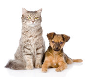 Mixed bred puppy and gray cat together. isolated on white. Background Royalty Free Stock Photo