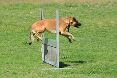 Dog jumping over fence. A mixed breed agility dog jumping over a hurdle in a dog park outdoors royalty free stock photography