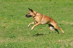 Alert jumping dog. A mixed breed athletic canine with alert facial expression jumping in a dog park outdoors Royalty Free Stock Images
