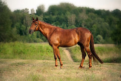 Mixed breed bay horse standing Royalty Free Stock Image