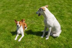 Mixed breed big dog looking down on a smaller basenji while resting on a fresh lawn. White mixed breed big dog looking down on a smaller basenji while resting on stock image