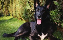 Black shepherd dog on garden. royalty free stock images
