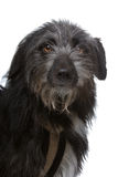 Mixed breed black dog Royalty Free Stock Photography