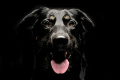 Mixed breed black dog portrait in a dark background studio. Mixed breed black dog portrait in dark background studio stock photo