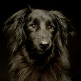 Mixed breed black dog portrait in dark photo studio. Mixed breed black dog portrait in a dark photo studio royalty free stock photography
