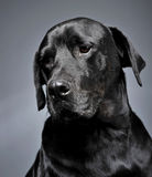 Mixed breed black dog portrait in a dark studio Royalty Free Stock Photography