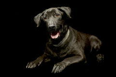 Mixed breed black dog relaxing in a dark photo studio. Mixed breed black dog relaxing in dark photo studio royalty free stock photos