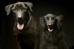 Mixed breed black dogs double portrait in a dark photo studio. Mixed breed black dogs double portrait in  dark photo studio Stock Photos