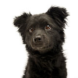 Mixed breed black funny dog portrait in studio Royalty Free Stock Image