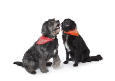 Gray and black dog. Mixed breed black and gray  dog with bandanas Stock Photos