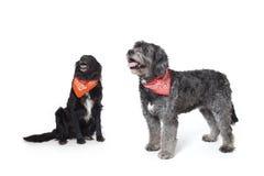 Gray and black dog. Mixed breed black and gray  dog with bandanas Royalty Free Stock Photos