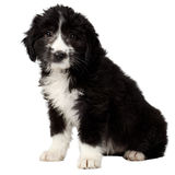 Mixed Breed Black Puppy Sits and Looking in Camera Isolated Royalty Free Stock Photo