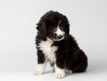 Mixed Breed Black Puppy Sits and Looking Pity Isolated Royalty Free Stock Photography
