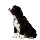 Mixed Breed Black Puppy Sits and Looking up Camera Isolated Stock Photo