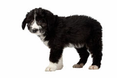 Mixed Breed Black Puppy Stands Isolated on White Royalty Free Stock Photo