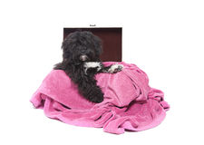 Black puppy. Mixed breed black puppy in a wooden box with pink blanket Stock Images