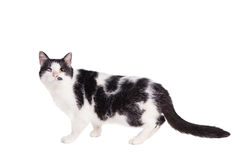 Mixed breed blind cat on white Royalty Free Stock Images