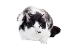 Mixed breed blind cat on white Royalty Free Stock Photography
