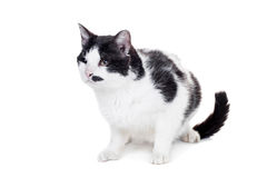Mixed breed blind cat on white Stock Photography