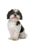 Mixed breed boomer dog. Sitting and sticking out tongue isolated on a white background Stock Photo