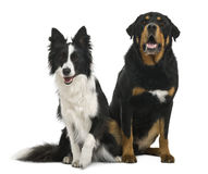Mixed-breed and border collie Stock Image